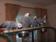 Congo African Grey Parrots and Fertile parrot egggs for sale