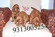 Gift a Irish Setter Pups on this Valentine day( FREE DELIVERY)....