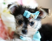 Female Yorkie Puppy for Adoption