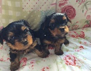 Yorkie puppies for sale 6814044345