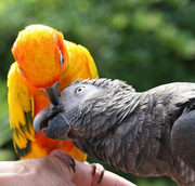 tame african grey and lorikeet parrots