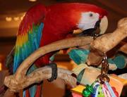 female scarlet macaw bird for sale
